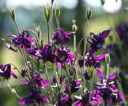 vulgaris: Beautiful dark purple wild  Aquilegia vulgaris flowers Stock Photo