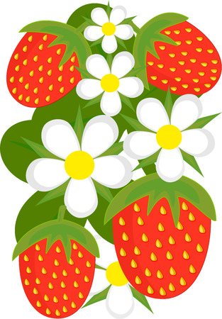 Strawberries and flowers illustration Vector