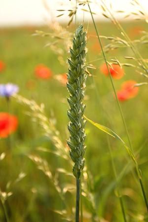 Unripe green wheat ear in the wild field. Ingredient for bread photo