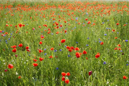 Beautiful red poppies on wild meadow with blue cornflowers photo