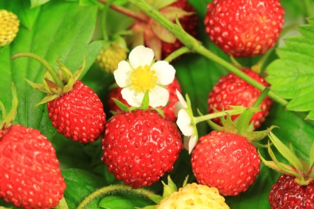 Delicious red wild strawberries with flower and leaves. Healthy summer fruits photo