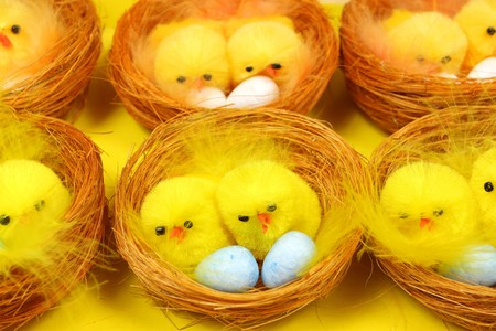 brooder: Yellow chicks in nestes sitting on eggs