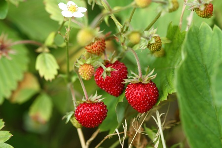 Wild strawberries bush with fruits and flowers photo