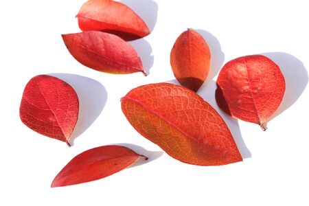 claret: Red autumn leaves of highbush blueberry over white
