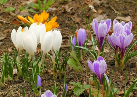 Spring colorful crocus flowers growing in garden photo