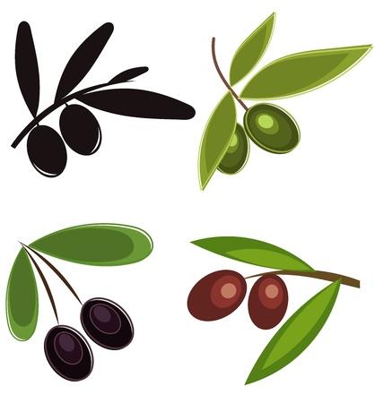 Colección de ramas de olivo con frutas. Ilustración vectorial