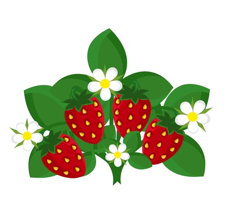 Strawberry shrub with fruits and flowers.  Vector