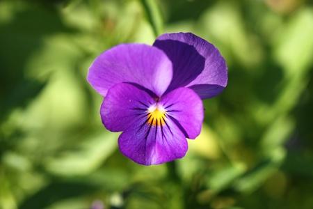 Purple flower of pansy violet in garden