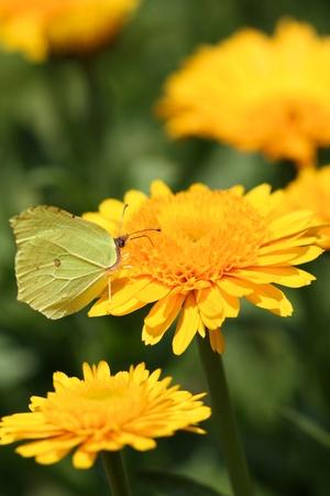 Common Brimstone butterfly drinking nectar on Calendula flower photo