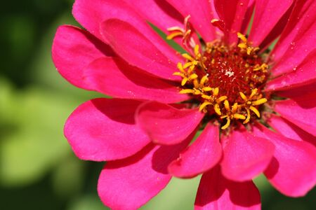 gynoecium: Closeup of pink Zinnia flower