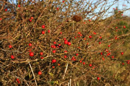 oudoors: Wild red rose fruits. Autumn