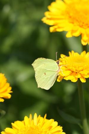 Butterfly (Common Brimstone) drinking nectar on calendula flower photo