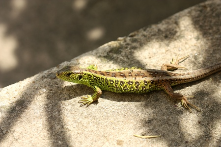 viviparous lizard: Viviparous Lizard sunbathing on sunlighted stairs