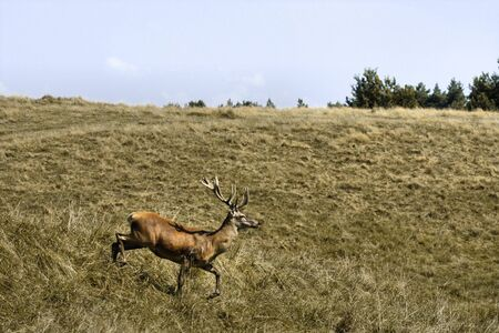 Deer running in natural field landscape. Autumn Stock Photo - 10502188