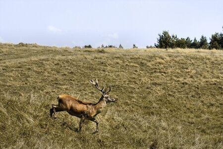 Deer running in natural field landscape. Autumn Stock Photo - 10502188