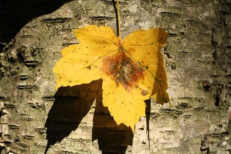 Single autumn yellow maple leaf on tree bark Stock Photo - 10502200