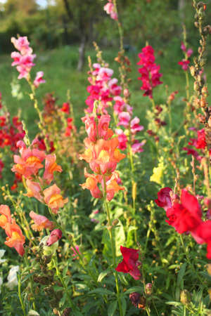 antirrhinum majus: Flowerbed with colorful Antirrhinum majus flowers Stock Photo