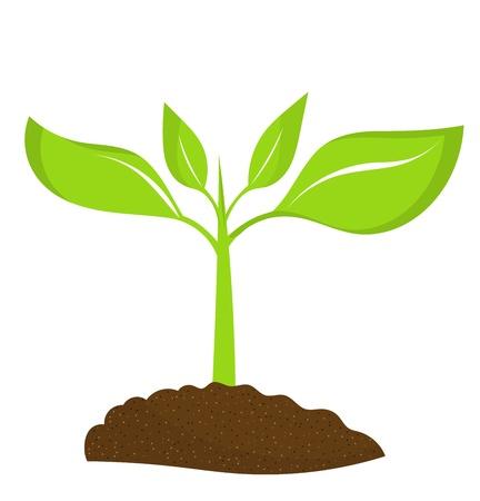 chicchi caff� su sfondo bianco: Piantina pianta che cresce nel terreno. illustrazione