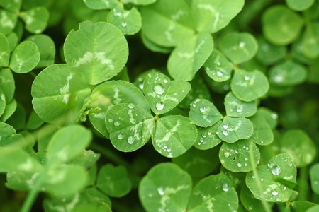 lucky clover: Shamrock with raindrops. St Patricks day Stock Photo