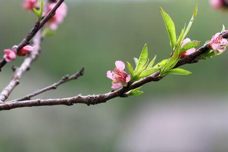 flor de durazno: Peach rama con flores de color rosa. Primavera
