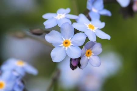 Forget me not flowers macro