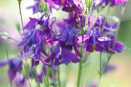 aquilegia: Beautiful purple wild Aquilegia vulgaris flowers in garden