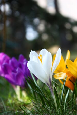 Colorful crocus flowers growing in the grass in garden photo