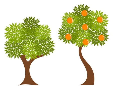 orchard fruit: Two trees with green leaves. Orange tree illustration