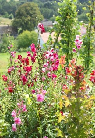 antirrhinum majus: Antirrhinum majus - beautiful colorful flowers growing in garden