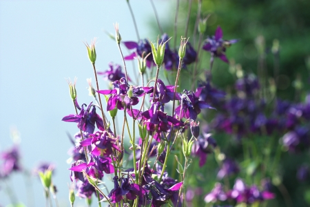 aquilegia: Purple wild Aquilegia flowers