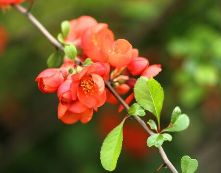 trees with thorns: Chaenomeles flowers. Ornamental shrub