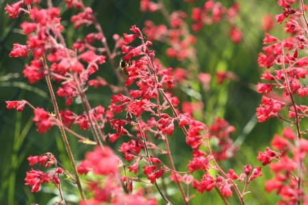 coral bell: Heuchera (coral bells) flowers pollinated by bee. Perrenial garden plant