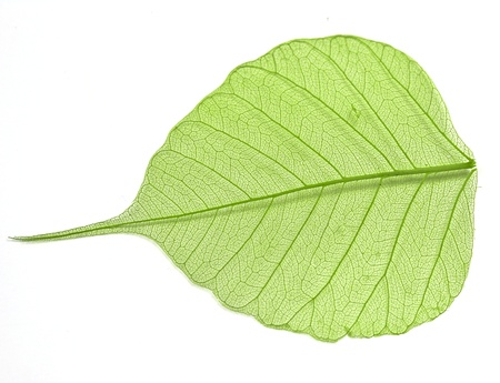 Green leaf isolated photo
