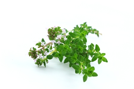 thyme: Thyme branch isolated