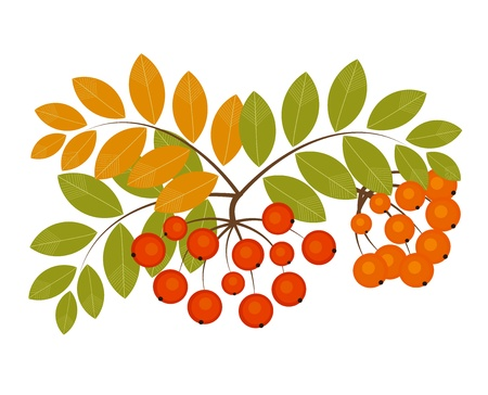 rowan: Rowan berry - autumn fruits. Vector illustration Illustration