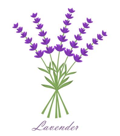 lavanda: Flores ramo de lavanda. Ilustración vectorial