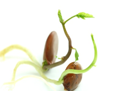 germinate: Fresh sprouts on white background. Shallow depth of field