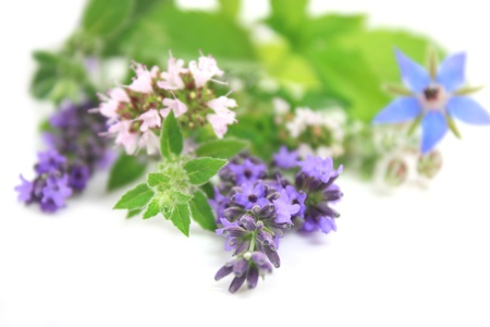 phytotherapy: Close up of fresh flowering herbs over white. Very shallow depth of field