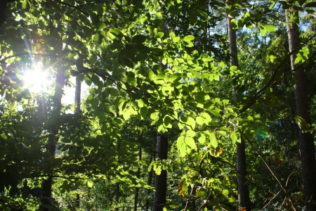 temperate: Dense temperate forest - sunburst beetween trees