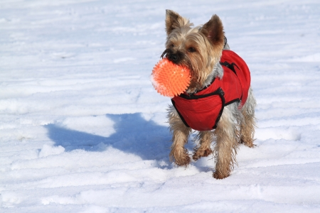 Yorkshire terrier playing with ball in the snow photo