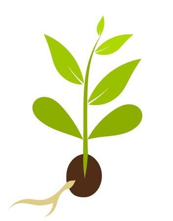 Little plant growing from seed - plant morphology.  Stock Vector - 17389772
