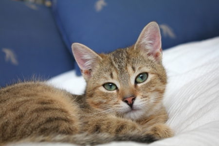 tabby cat: Tabby young female cat lying in bed