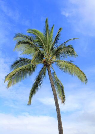 Coconut palm tree over blue sky. Hawaii island photo
