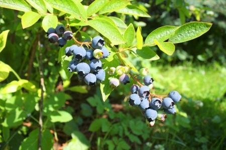 Ripe highbush blueberries on shrub growing in the garden