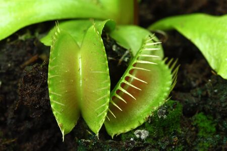 Venus flytrap - closeup of traps photo