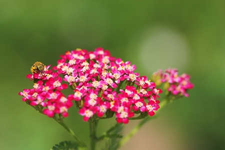 Pink milfoil and bee photo
