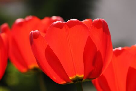 beautiful red tulips close up: Closeup of red tulips in garden Stock Photo