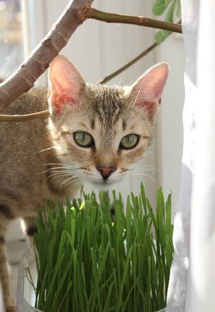 Tabby cat eating grass at home Stock Photo - 19097937