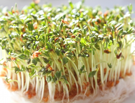 Green fresh garden cress sprouts photo