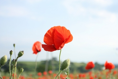 shallow depth of field: Poppies on meadow. Shallow depth of field